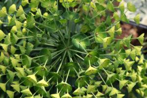 green flowerstalk