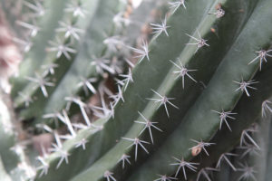 spines of cactus